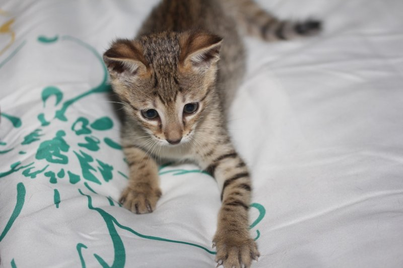Agato Savannah Kitten Talon - F5 SBT Male