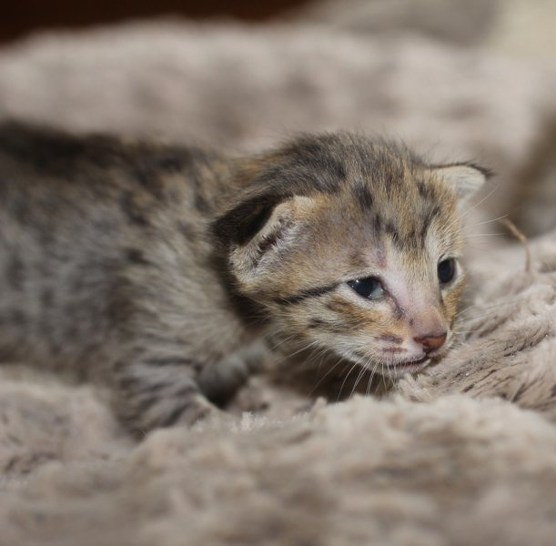 Agato Tempest F5 SBT Female - Savannah Kitten