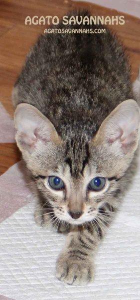 Savannah Kittens for Sale – Savannah Kittens NJ – Savannah