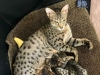Agato Savannahs Sonata and Three of her Savannah Kittens
