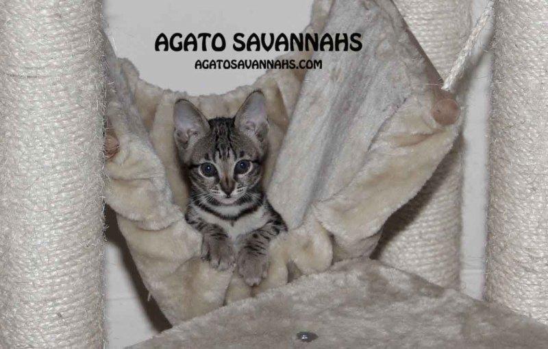 Genny - Agato Savannahs - 8 Weeks Old