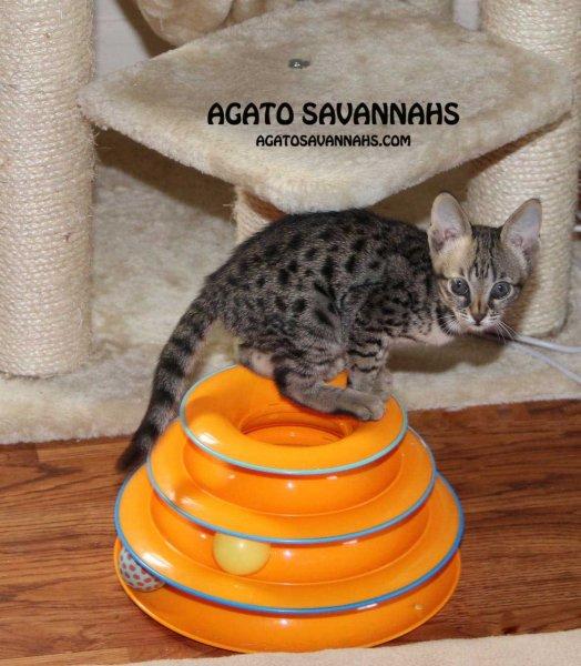 Genny - Agato Savannahs - 9 Weeks Old - F6 SBT