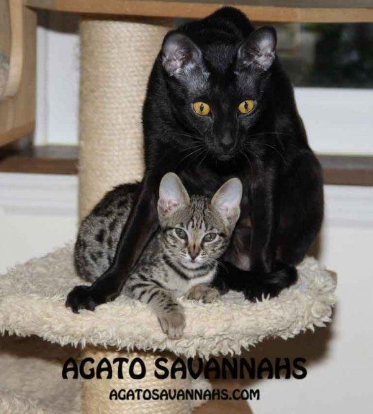 Genny - Agato Savannahs - 10 Weeks Old - F6 SBT