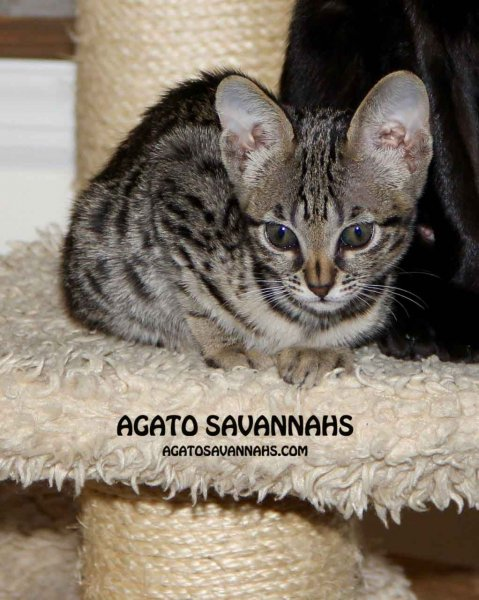 Agato Savannahs Genny - 10 Weeks Old - F6 SBT