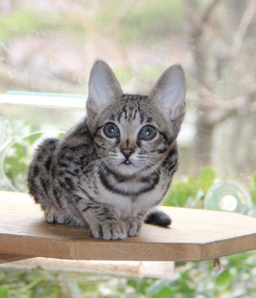 Savannah Kitten Genny - 10 Weeks Old - F6 SBT