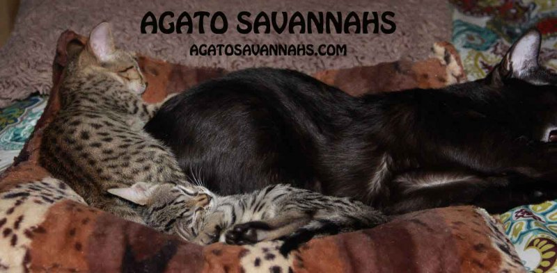 F6 SBT Savannah Kitten - Female - Genny (and Zion) - 7 Weeks Old