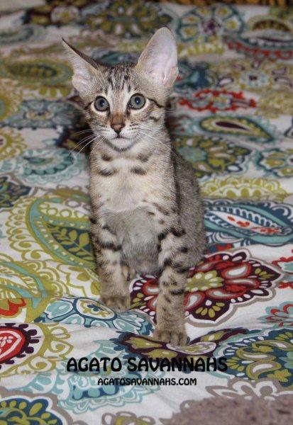 F6 SBT Savannah Kitten - Male - Ikon - 9 Weeks Old - Long Legs