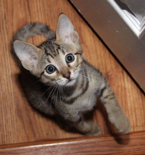 F6 SBT Male Savannah Kitten Ikon - 6 Weeks Old