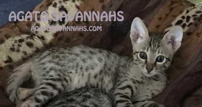 F6 SBT Savannah Kitten - Male - Ikon - 8 Weeks Old