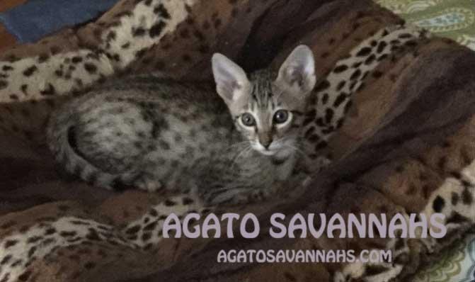 Ikon - Savannah Kitten - F6 SBT - 8 weeks Old - Ears