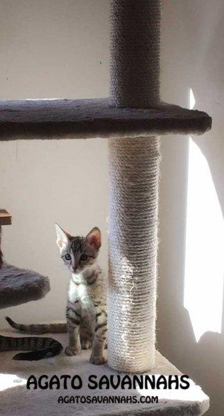 F6 SBT Savannah Kitten - Male - Ikon - 8 Weeks Old - Long Legs