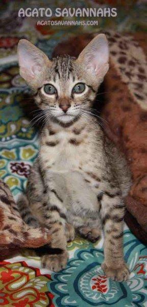 F6 SBT Savannah Kitten - Male - Ikon - 7 Weeks Old