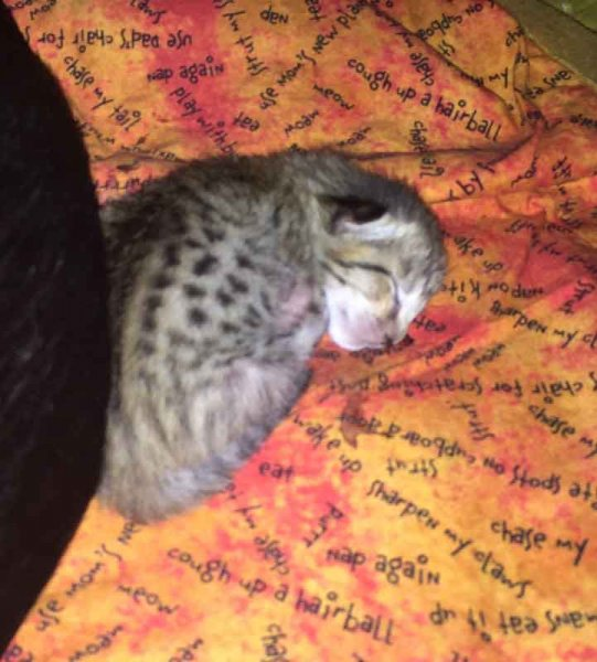 F6 SBT Kitten - Two Days Old