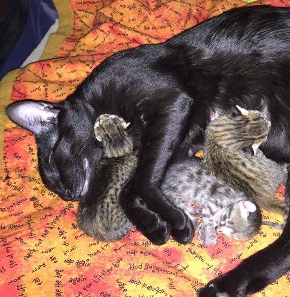 Agato Savannahs Kittens - Two Days Old