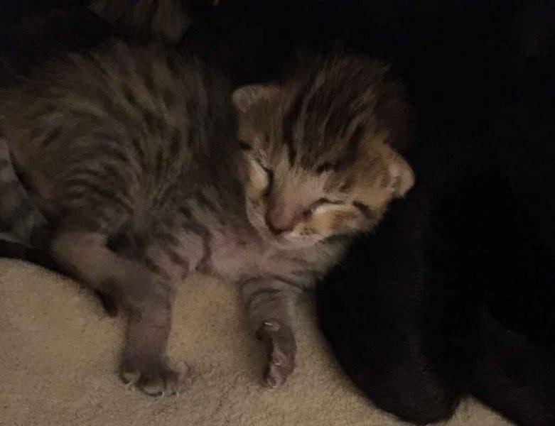 Agato Savannahs Ikon - One Week Old