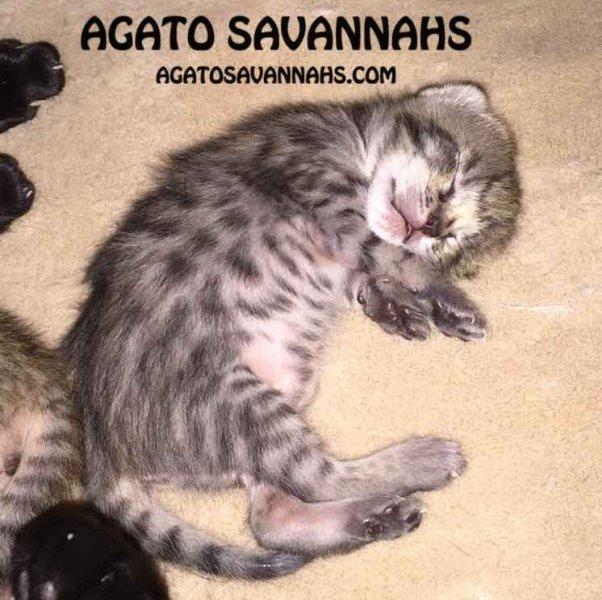 Agato Savannahs Genesis - One Week Old