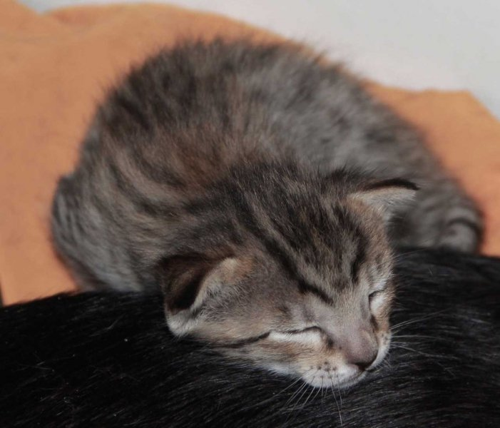Savannah Kitten Ikon - F6 SBT Male - 2 Weeks Old
