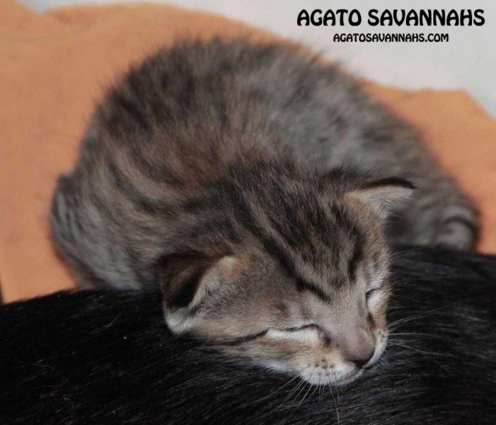 Agato Savannahs Ikon - F6 SBT Male - 2 Weeks Old