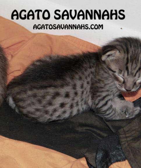 Savannah Kitten - F6 SBT Male - 2 Weeks Old