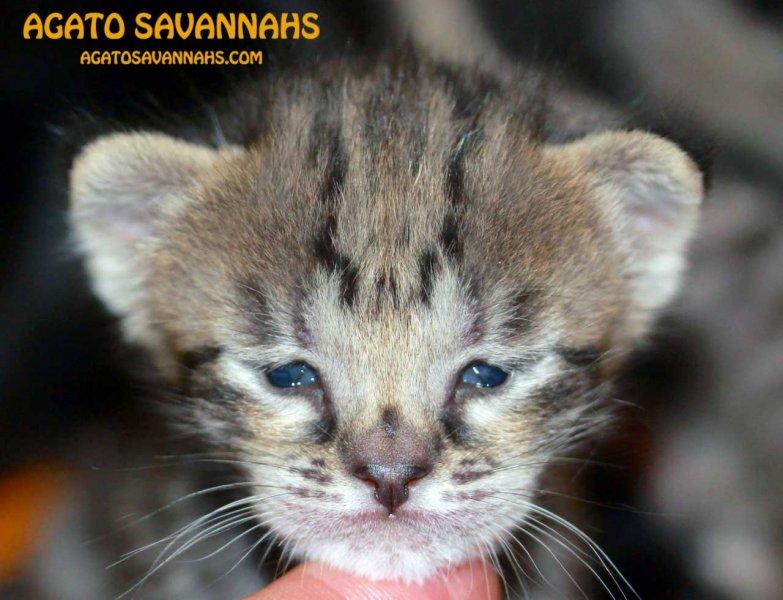 Savannah Kitten Genesis - F6 SBT Female - 3 Weeks Old