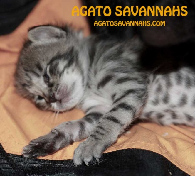 Savannah Kitten Genesis - F6 SBT Girlie - 3 Weeks Old