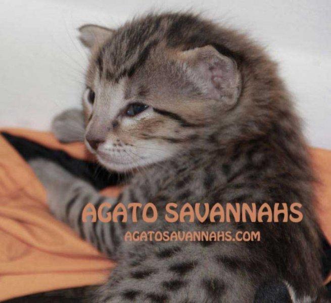 Savannah Kitten Zion - F6 SBT Male - 3 Weeks Old