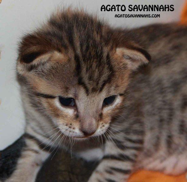 Savannah Kitten Ikon - F6 SBT Male - 3 Weeks Old