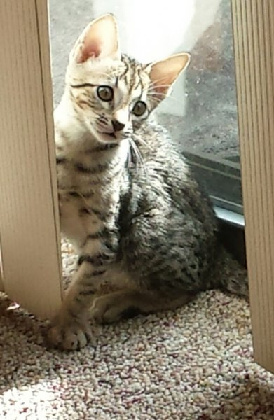 Agato Savannahs Jax as a Kitten