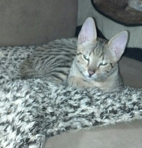Agato Savannahs Orion as a Kitten