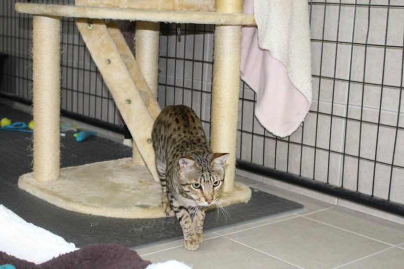 Savannah Cat - Kiwanga Prinz of Northeast Savannah