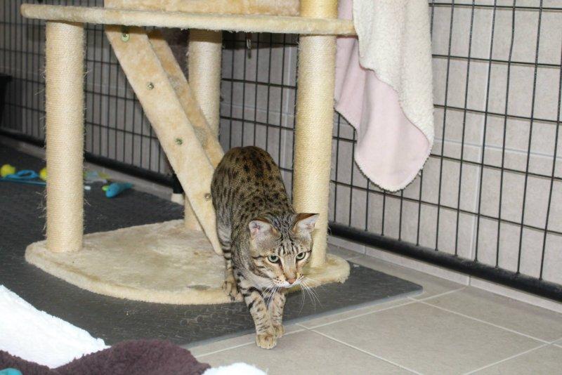 Savannah Cat - Kiwanga Prinz of Northeast Savannah
