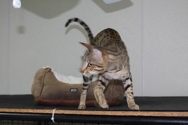 Kiwanga Prinz of Northeast Savannah - Savannah Male Cat