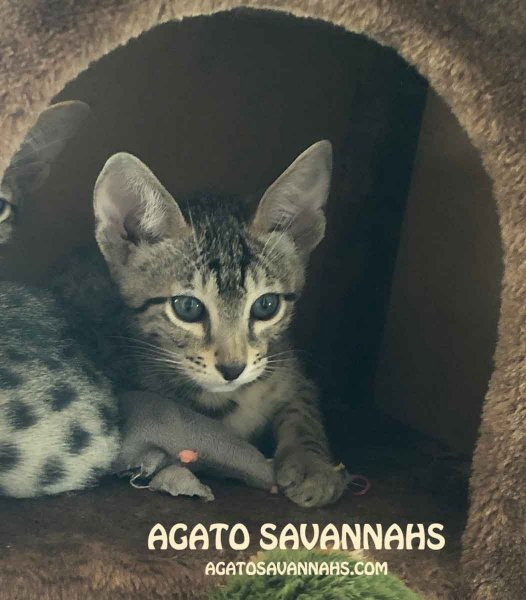 Agato Savannahs Rebel - F6 SBT - Male
