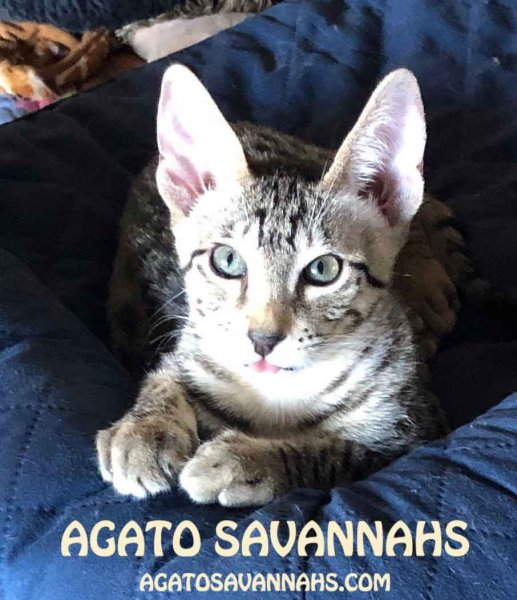 Agato Savannahs Rebel - F6 SBT Male