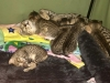 F6 SBT Savannah Kittens