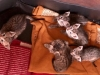 F6 SBT Savannah Kittens - 4 Weeks Old