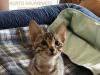 F6 SBT Savannah Kitten Sedona - Savannah Kitten for Sale NJ