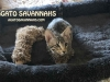 Agato Sedona - F6 SBT Female - Savannah Kitten for Sale NJ