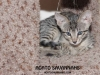 Agato Sedona - F6 SBT Female - Savannah Kitten for Sale NJ