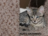 F6 SBT Savannah Kitten Sedona - Savannah Kitten for Sale NJ