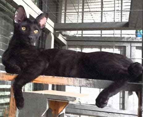 F5 SBT Melanistic Savannah Female Siri the Queen