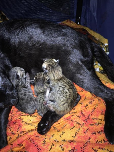 Zion - F6 SBT Male Savannah Kitten - One Day Old