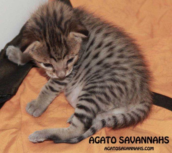 Zion - F6 SBT Male Savannah Kitten - 2 Weeks Old