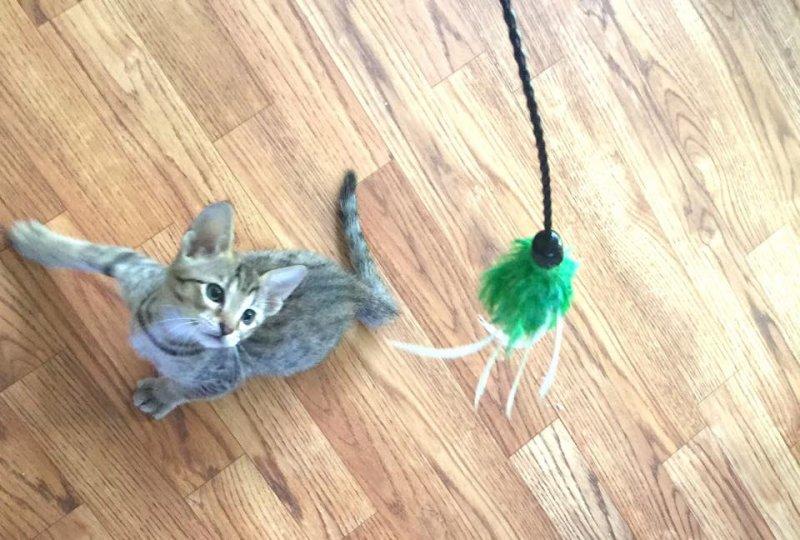 Zion - F6 SBT Male Savannah Kitten - 5 Weeks Old
