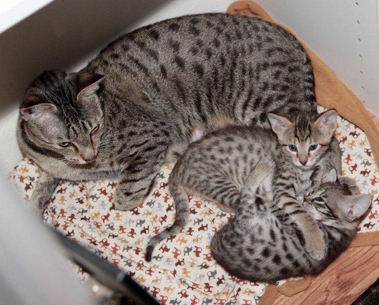 Zion - F6 SBT Male Savannah Kitten - 4 Weeks Old