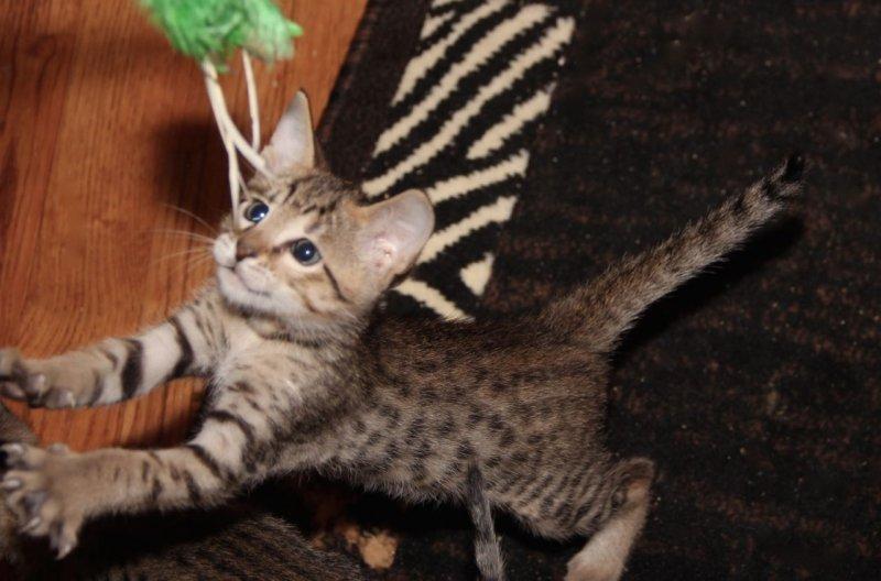 Zion - F6 SBT Male Savannah Kitten - 6 Weeks Old