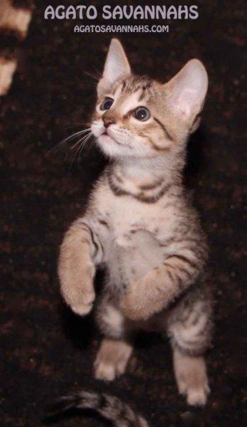 F6 SBT Savannah Kitten - Male - Zion - 7 Weeks Old