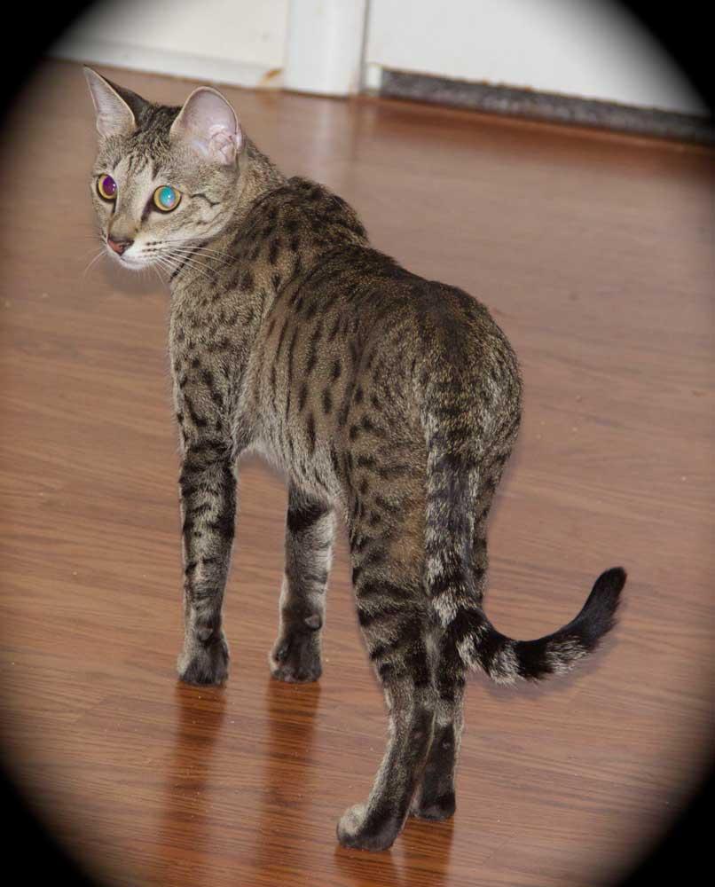Savannah Cat Breeder Savannah Kittens For Sale Savannah Cats Agato Savannah Cats