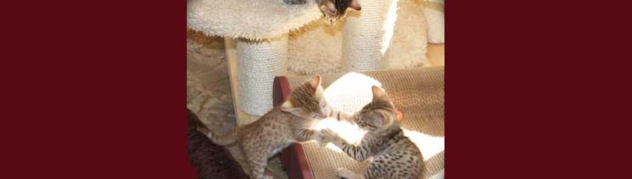 Savannah Kitten Questionnaire Image