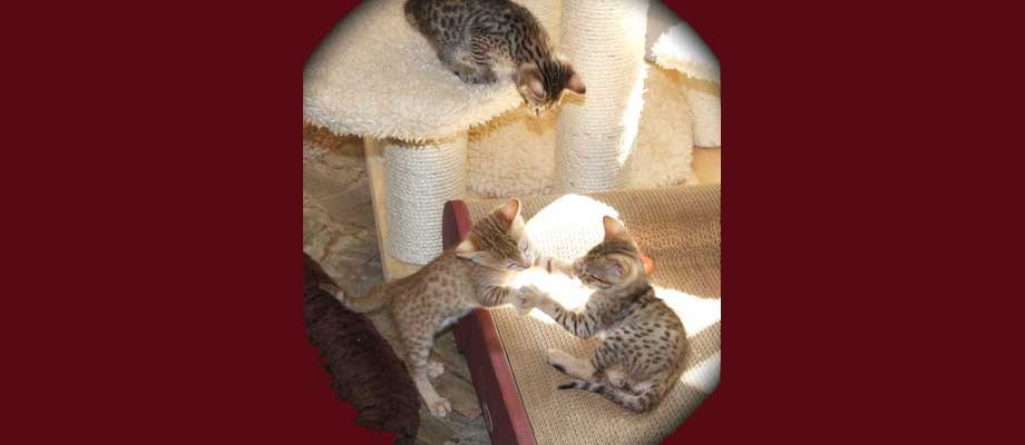 Savannah Kitten Questionnaire